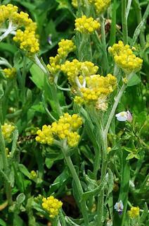 誕生花 母子草