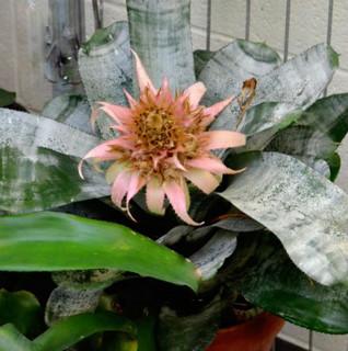 誕生花 アナナス