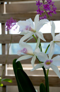 誕生花 カトレア