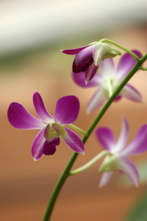 誕生花 デンドロビューム