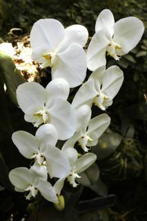 誕生花 胡蝶蘭