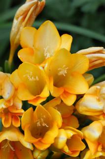 誕生花 フリージア