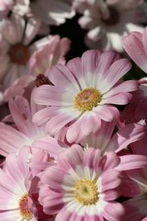 誕生花 サイネリア