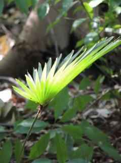 誕生花 棕櫚竹