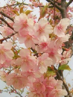 誕生花 彼岸桜