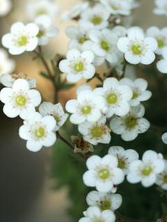 誕生花 サキシフラガ