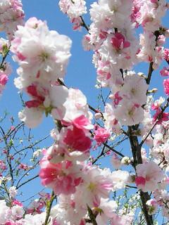 誕生花 花桃