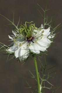誕生花 黒種子草