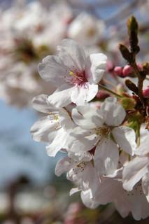 誕生花 桜