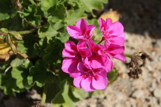 誕生花 ゼラニューム