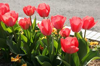 誕生花 チューリップ
