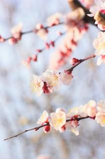 誕生花 杏子