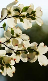 誕生花 花水木