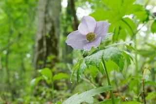 誕生花 白根葵