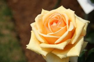 誕生花 バラ