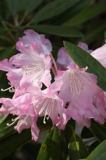 誕生花 シャクナゲ