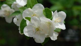 誕生花 バイカウツギ