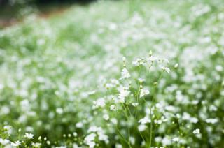 誕生花 かすみ草