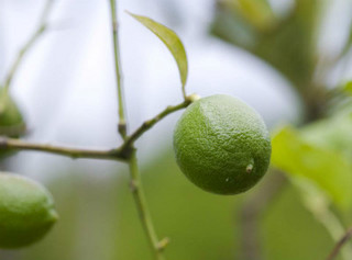 誕生花 檸檬