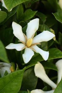 誕生花 クチナシ