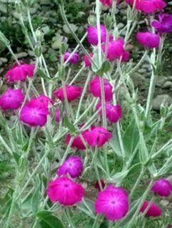誕生花 水仙翁