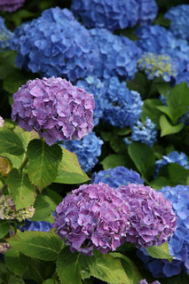 誕生花 紫陽花