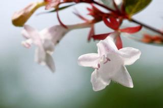 誕生花 アベリア