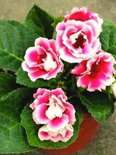 誕生花 グロキシニア