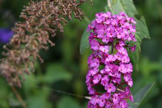 誕生花 ブッドレア