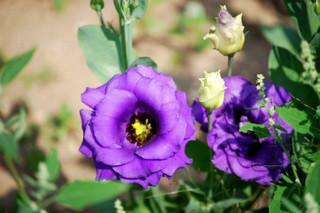 誕生花 トルコ桔梗