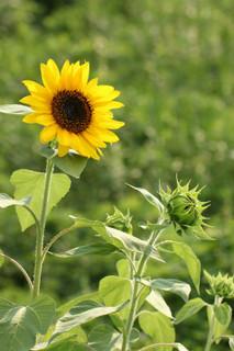 誕生花 向日葵