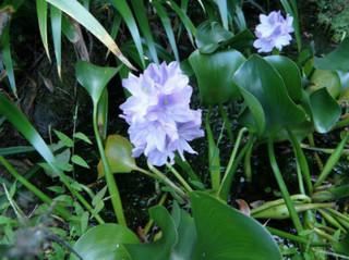 誕生花 布袋葵