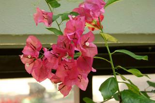 誕生花 ブーゲンビレア