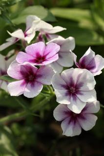 誕生花 花魁草