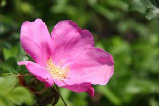 誕生花 ハマナシ