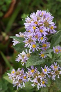 0928紫苑.jpg