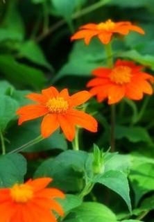 誕生花 チトニア