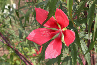 誕生花 紅葉葵