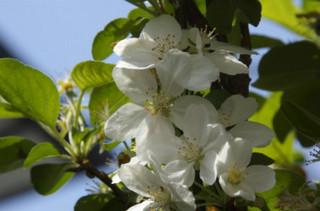 誕生花 姫リンゴ