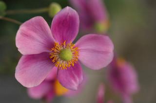 誕生花 秋明菊