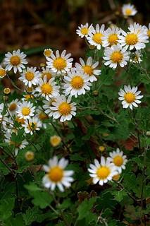 誕生花 野路菊