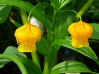 誕生花 サンダーソニア
