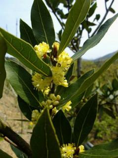 誕生花 月桂樹