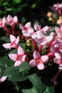 誕生花 ブバルディア