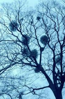 誕生花 宿木